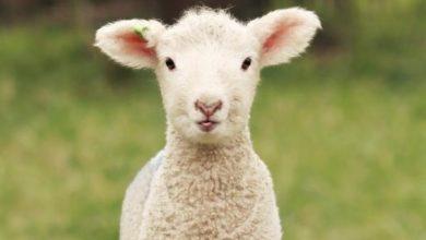 بره گوسفند و فلسفه